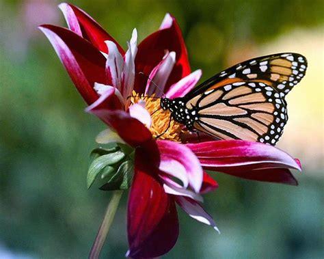 i fiore fiore farfalla