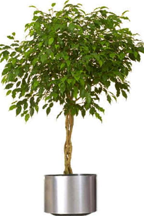 decorative trees for home canada floral delivery blog raising happy and healthy houseplants