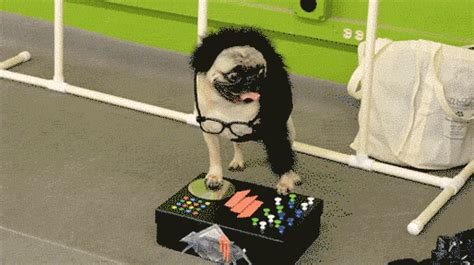 pug gif imgur pugs can really rock a costume the meta picture