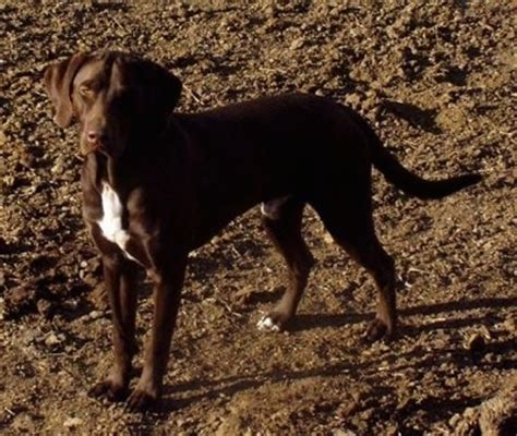 german shorthaired lab puppies german shorthaired lab breed information and pictures