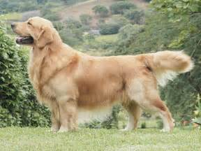 Http static wamiz fr images animaux chiens large golden retriever