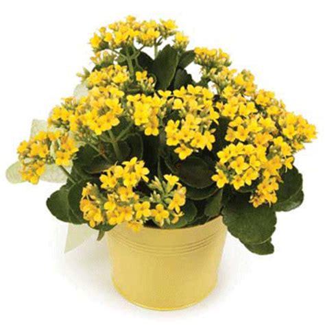 pianta con fiori gialli invio piante da interno regalo piante da ufficio