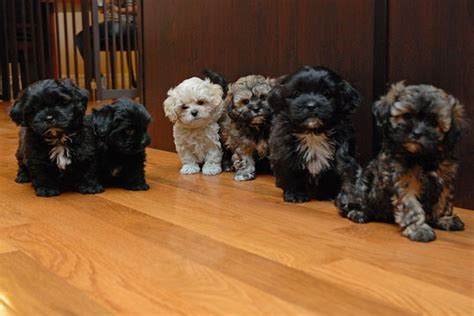 poodle terrier lifespan 1000 ideas about yorkie poo puppies on yorkie