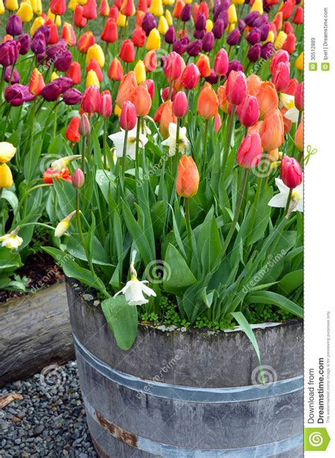 Tulip Planter by Colorful Tulip Planter Royalty Free Stock Images Image