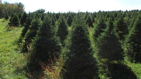 28 best christmas tree farm boston tara calvin s
