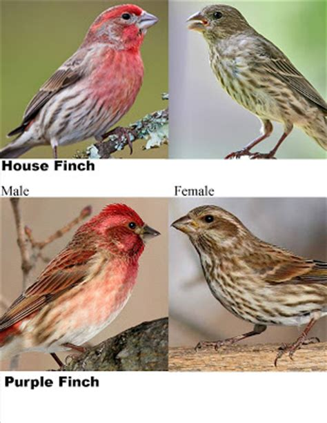 purple finch vs house finch wild birds unlimited may 2009
