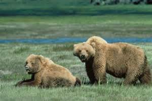 File grizzly bears animal wildlife jpg wikimedia commons