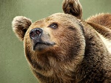 Brown Bear Pictures Free