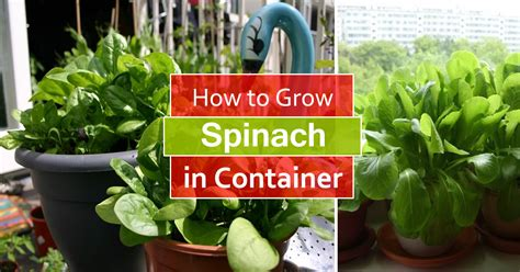 How to Grow Spinach in Pots   Growing Spinach in