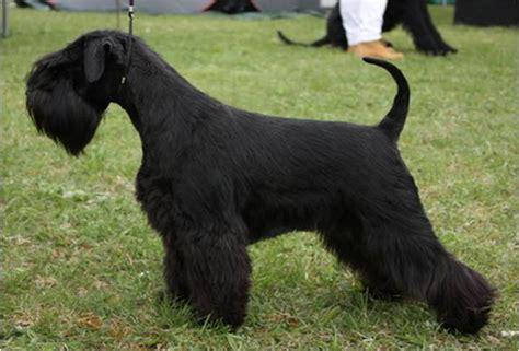 black schnauzer puppies miniature schnauzer faq common mini schnauzer questions