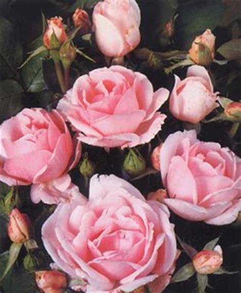 fiore della gelosia la gattola fiori e piante profumate