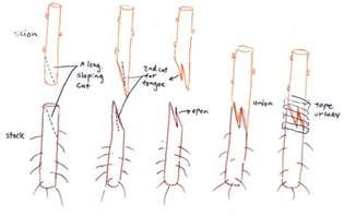 Grafting Techniques For Fruit Trees - lec2