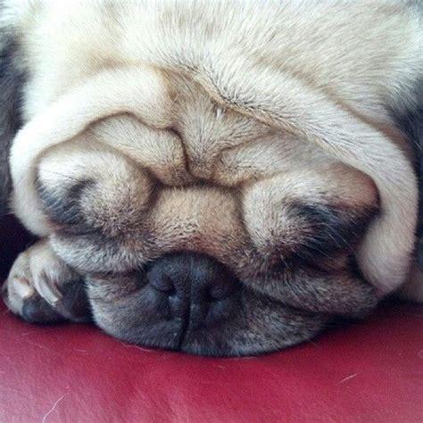 wrinkly pug 3116 best images about pugs on pug brindle pug and black pug