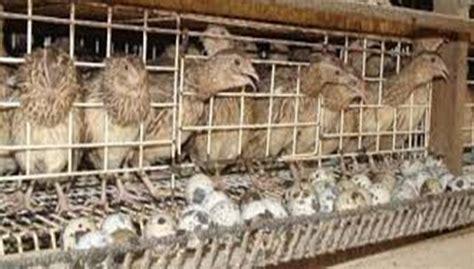 Lu Hias Telur kumpulan artikel peluang usaha burung puyuh peluang