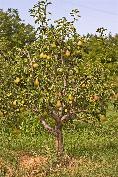when do pear trees produce fruit pear pruning harvest to table