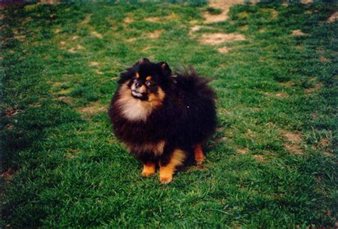 black and brown pomeranian kennel z malebneho povltavi pomeranian nostalgia