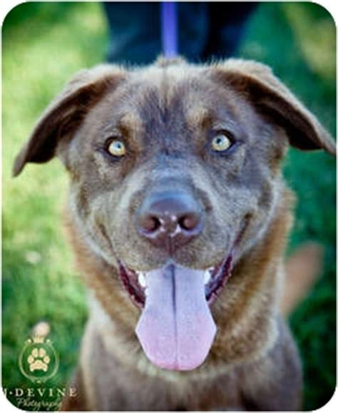 husky puppies seattle gizmo adoption pending adopted seattle wa husky chesapeake bay retriever mix