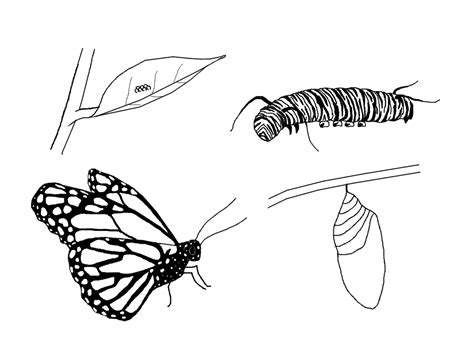Free Cycle Of The Butterfly Coloring Pages Butterfly Cycle Coloring Page
