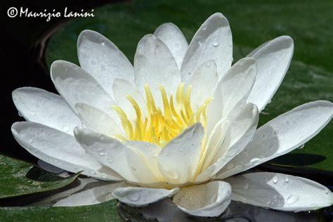 ninfea fiore fiore di ninfea fare di una mosca