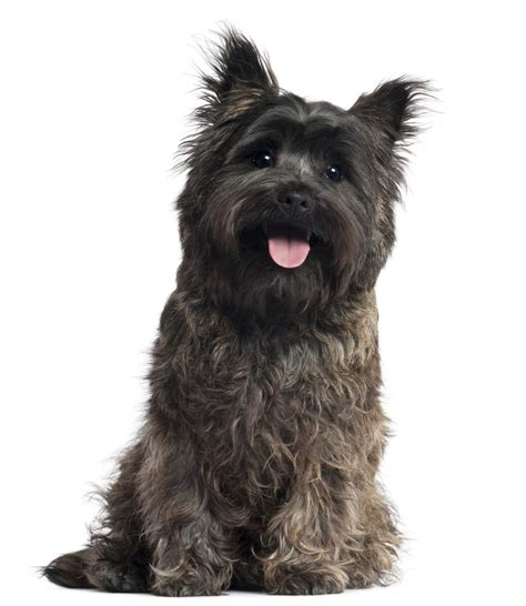 Pics Of Long Hair Dark Browm Terriers | cairn terrier caract 232 re origine prix 233 ducation et