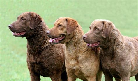 chesapeake retriever puppy chesapeake bay retriever breed information