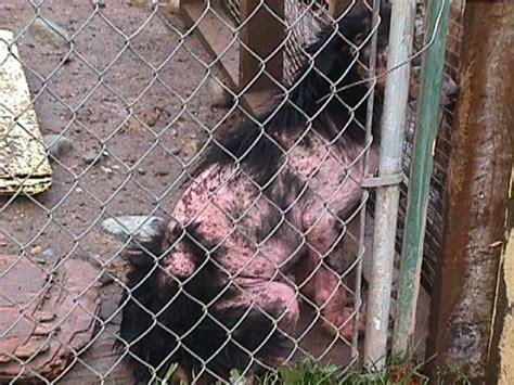 rottweiler skin problems trojan rottweilers rottweiler breeder in columbia canada