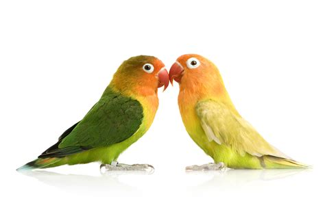 Care Lovebird birds pet birds info article and pictures pet yak