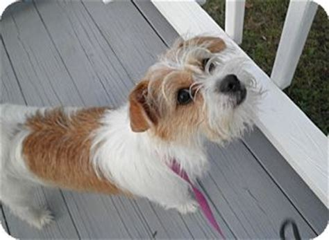 adopt a puppy in ma tilly adopted sudbury ma terrier unknown type small mix