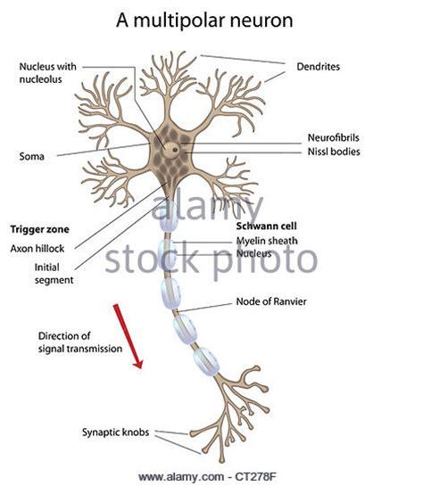 neuron diagram labeled multipolar neuron stock photos multipolar neuron stock