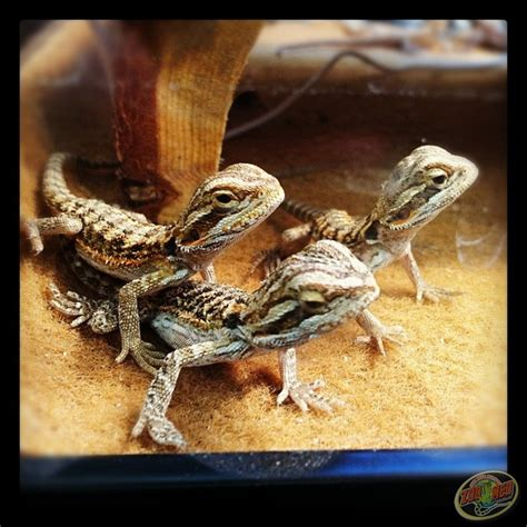 bca zoo day 50 best bearded dragons images on pinterest reptiles
