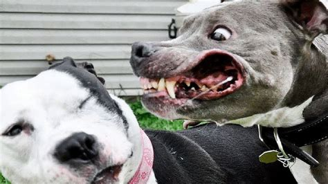 most vicious dogs 5 most dangerous dogs in the world fact5
