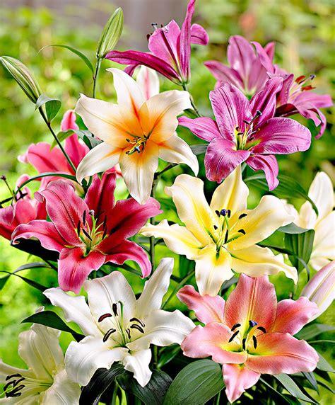 fiori gigli acquista gigli giganti sky high in mix bakker