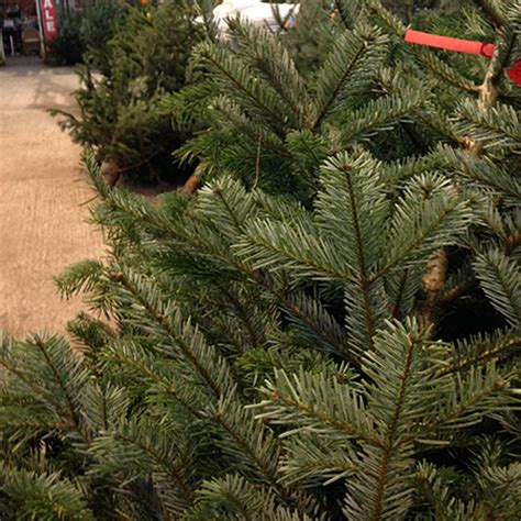 buy real christmas trees in leicester sapcote garden centre