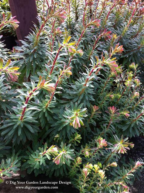 euphorbia plants that brighten up the late winter garden mediterranean landscape san