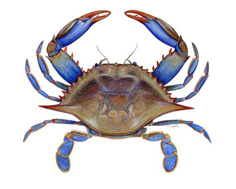 27 best images about blue crabs on pinterest crabs 69 best images about art with blue crabs on pinterest