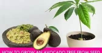 Tanaman Alpukat Hass teknik menanam pohon buah alpukat