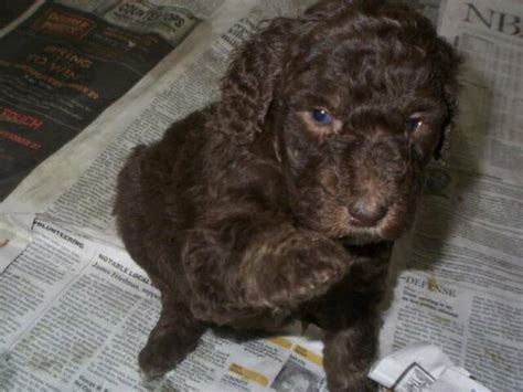 standard poodle puppies ohio standard poodle puppies columbus ohio dogs our friends photo