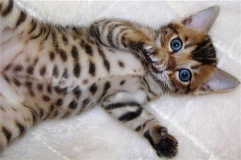 30  Fabulous Bengal Cat Photos That Look Like Tigers