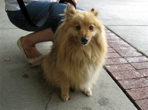 pomeranian mixed breeds pomeranian collie mix