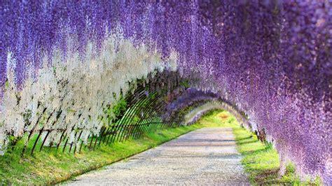 kawachi fuji garden wisteria tunnel japan youtube