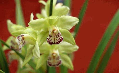 gambar bunga anggrek shenzhen nongke aneka info unik