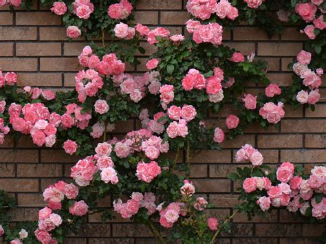 wallpaper for walls with roses rose bush brick wall wallpapers rose bush brick wall