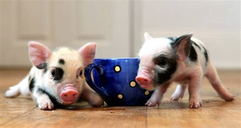 are teacup pugs real teacup pig animal backgrounds 28915 slapped ham