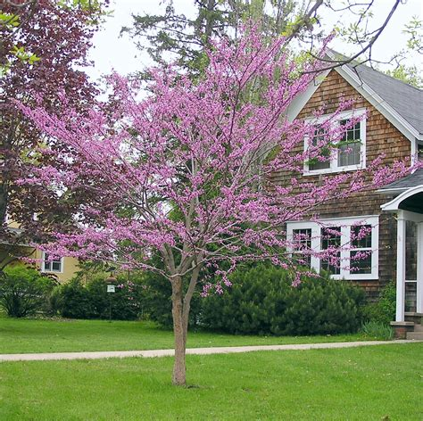 redbud tree regal redbuds blossoming now knecht s nurseries