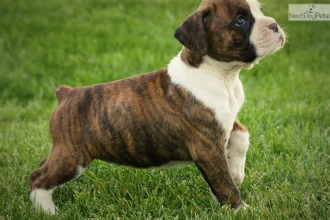 dogs for sale omaha boxer puppy for sale near omaha council bluffs nebraska 2f489e15 acf1