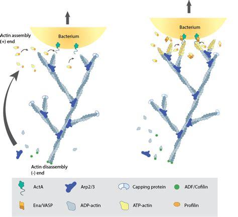 protein f aktin actin filament
