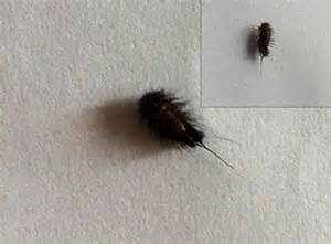 carpet beetle larva from turkey what s that bug