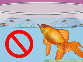 expert advice on how to fix swim bladder disease in goldfish