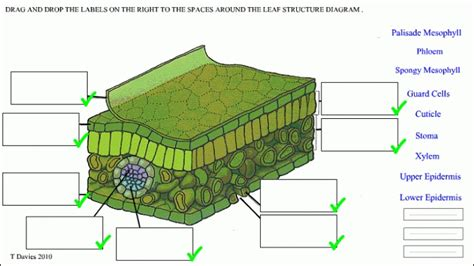 diagram of a leaf leaf structure worksheet pdf theleaf co