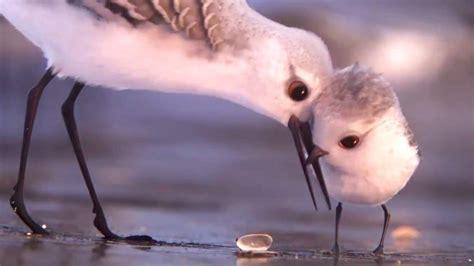 pixar short film larva full watch pixar unveils new clip from piper short